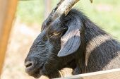 stock photo of cashmere goat  - Domestic Black Goat Portrait Close Up Details - JPG