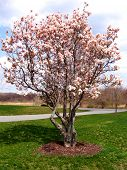 stock photo of saucer magnolia  - blooming magnolia tree in spring - JPG