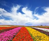 Phenomenally beautiful multi-colored flower fields. Garden buttercups /ranunculus/  bloom bright con