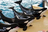 Killerwhales posing in waterpark