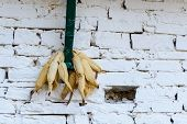 Corn drying against a white wall in Nepal
