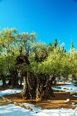 foto of gethsemane  - Gethsemane garden in Jerusalem with olives covered with snow - JPG