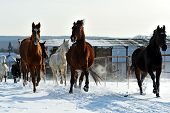 stock photo of herd horses  - Herd of horses running through a snowy field gallop - JPG