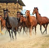stock photo of herd  - Herd of horses running to the stables - JPG