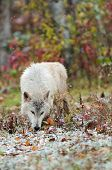 Blonde Wolf (Canis lupus) Sniffs In The Snow