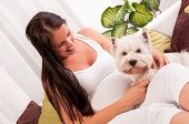 stock photo of west highland white terrier  - Happy pregnant woman with west highland white terrier relaxing on the sofa - JPG