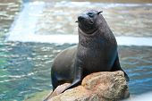 Sea lion on stone