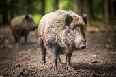 stock photo of male-domination  - Wild boar  - JPG