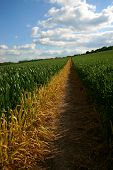 Straight Path Through Crop Field