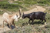 Two billy-goats of Rove fighting, Provence, south of France
