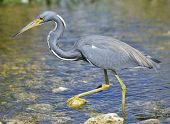 Tricolored Heron In Florida Wetland