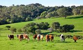 stock photo of herd  - A mixed herd of cattle in the Caves Road area of Margaret River in Western Australia - JPG