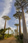 stock photo of baobab  - Avenue of the Baobabs Morondava - JPG