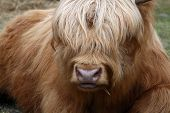 picture of oxen  - Golden ox with long hair covering eyes - JPG