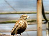 Finch lark