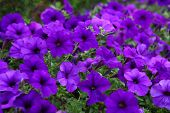 stock photo of petunia  - Flowerbed beautiful purple flowers purple Petunia Blue fantasy