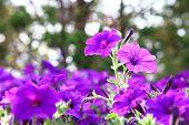 Petunia Fantasy Blue