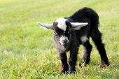 picture of billy goat  - A cute black and white baby billy goat is standing outside in the grass on the farm on a summer day.