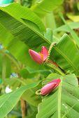 Banana Blossom Of A Banana Tree In A Natural Garden.