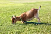 Hungry Pet Goat Pulling On Leash