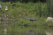 picture of bluegill  - A Great Blue Heron patients waits for some fish - JPG