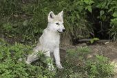 stock photo of horrific  - A single Arctic Wolf cub in some grass - JPG