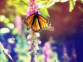 Monarch Butterfly on some purple flowers toned with a retro vintage instagram filter