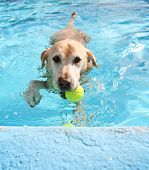 a labrador retriever swimming at a local pool with a tennis ball
