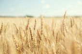 image of fall-wheat  - golden wheat field and sunny day - JPG