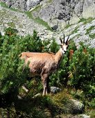 Animal in the mountains - chamois