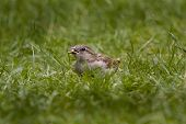 Female Sparrow.