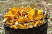 stock photo of chanterelle mushroom  - Fresh golden chanterelle mushrooms in a pot - JPG