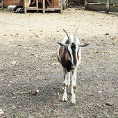 Posing Goat