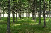 pic of row trees  - Trees in rows in the park near Sapporo Japan - JPG