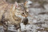 foto of dead mouse  - Tabby cat with dangerous look holding prey in teeth - JPG