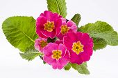 beautiful spring flowers of pink primula -close up