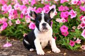 pic of color spot black white  - An adorable black and white French Bulldog puppy sits in a colorful garden - JPG