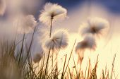 picture of arctic landscape  - arctic cotton flowers - JPG
