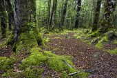 Track through moss covered trees, Fiordland National Park, South Island, New Zealand