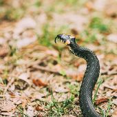 Grass-snake, Adder In Early Spring