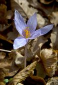 Crocus In The Forest