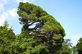 the inclined tree