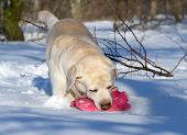 Yellow Labrador In Winter Playing With A Pink Toy