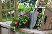 picture of pot-bellied  - flowers seedlings pots and garden tools in garden - JPG