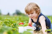 stock photo of strawberry blonde  - Funny little blond kid boy picking and eating strawberries on organic bio berry farm in summer on warm sunny day - JPG