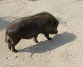 Black Diminutive Pig