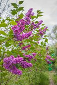 pic of lilac bush  - Blooming violet lilac bushes along the path trail - JPG