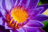 Beautiful Purple Lotus Flower