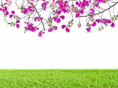 Pink Bougainvillea Flower And Green Grass