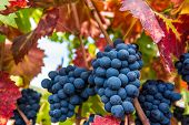 pic of vines  - Grapes on the vine at harvest time - JPG